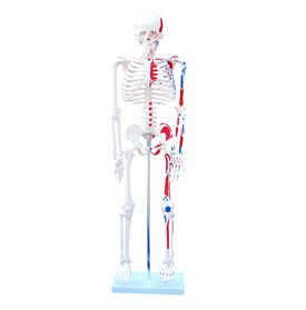 85cm Skeleton with Painted Muscles