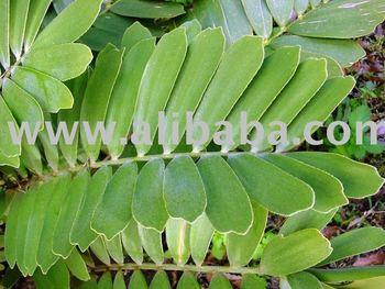 Zamia furfuracea buy cycas product on for Planta ornamental zamia