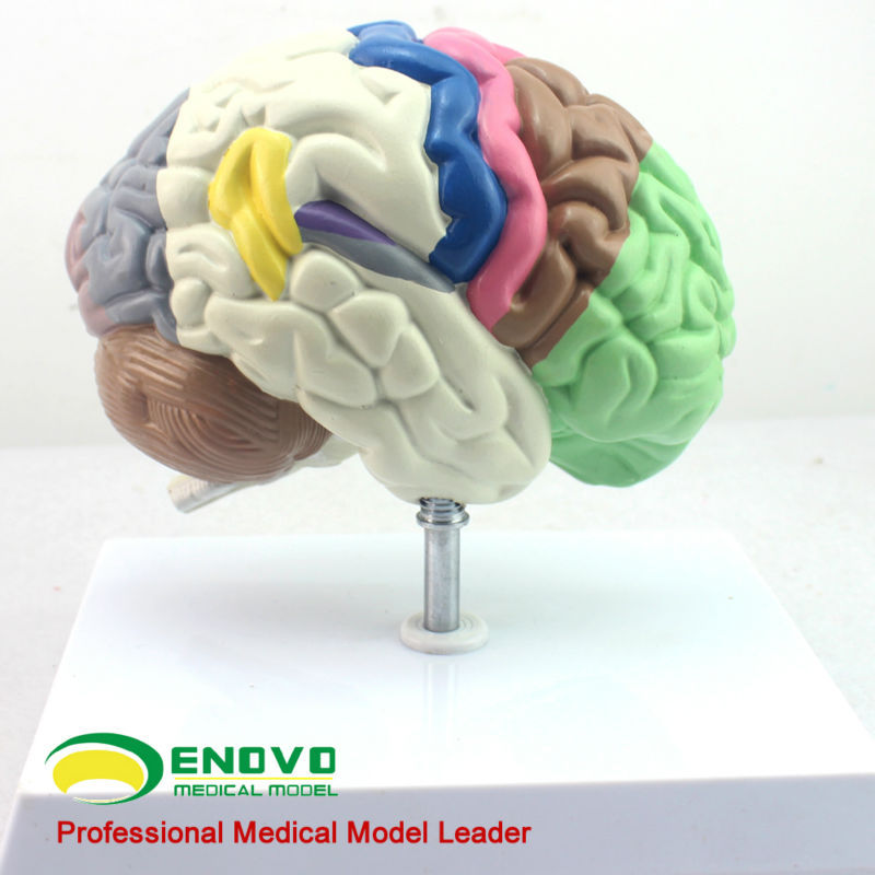Colored Partition Human Cerebral Cortex Medical Function Plastic Brain Model