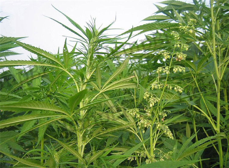 Herbal Extract Type and Oil Form hemp oil