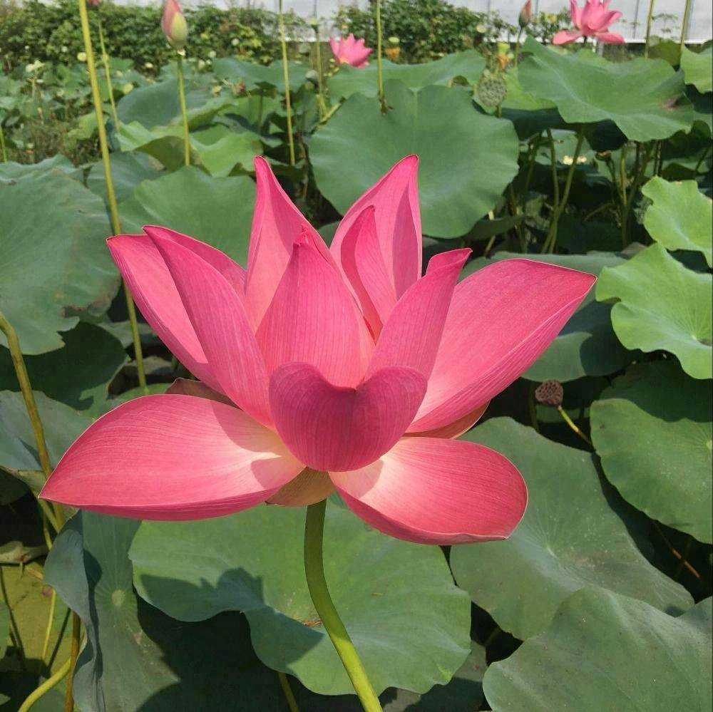Water Lily Lotus Seeds For Growing For Family Pot Landscape Buy