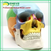 GT-03 Human Colored Skull Model 3 parts Separation