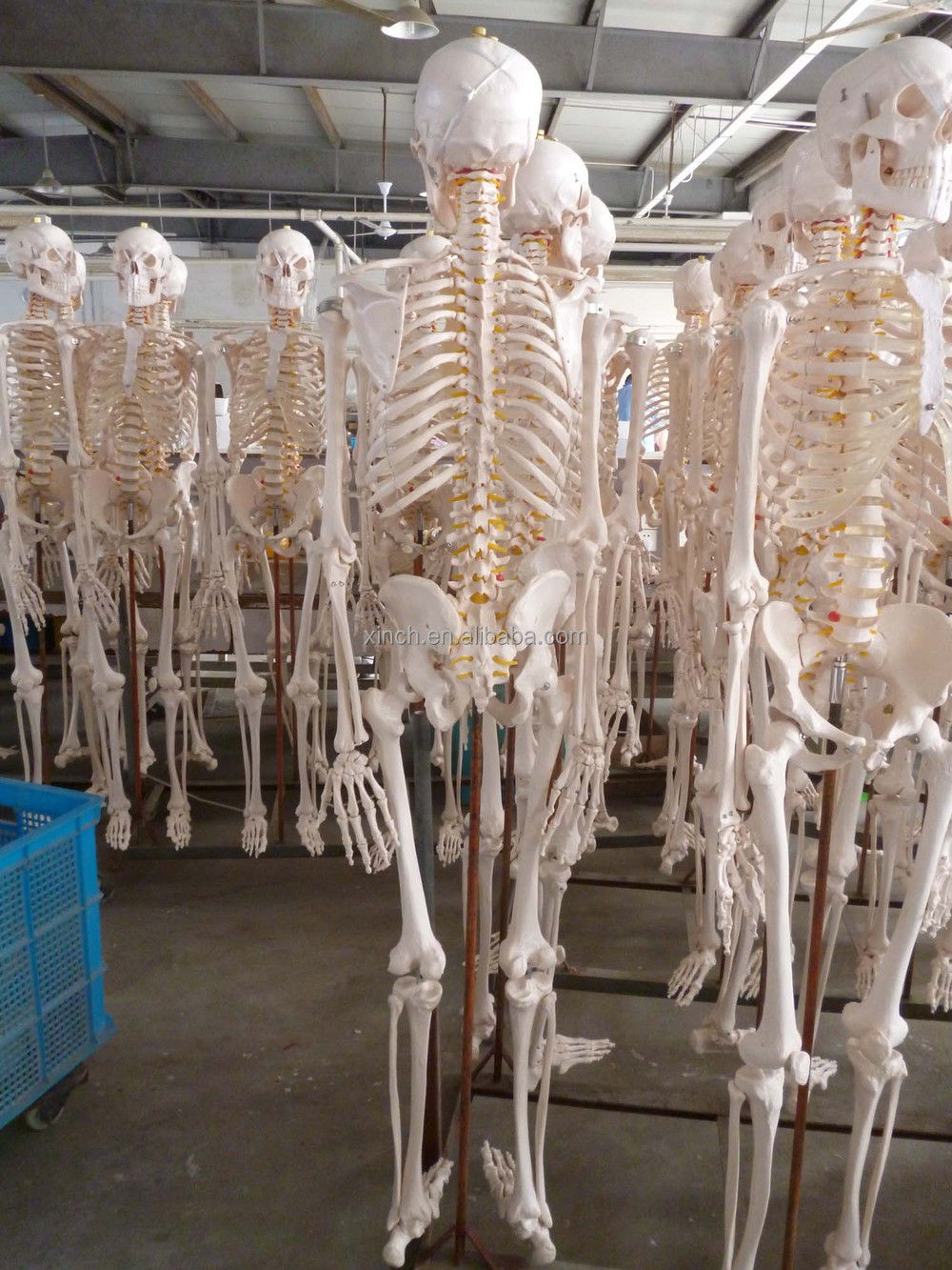Life-size 180 cm Cheap Plastic Skeleton for Sale from Shanghai