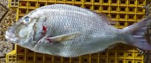 Emperor Fish, fish, Seafood, Frozen Seafood, Fishing