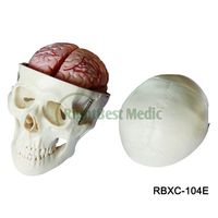 Life-size human Anatomical skull model Skull Model with 8 Parts Brain