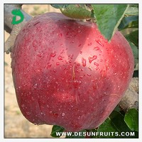 new season chinese 2013 fresh red delicous sweet crispy nutritive Tianshui huaniu apple