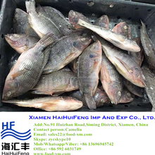 2016 New catching tilapia fish food frozen wholesale price