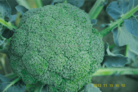 Hybrid vegetable broccoli seeds for growing-Verdure 521