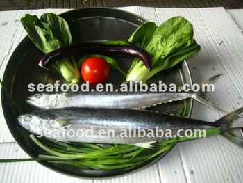 Good quality frozen Spanish Mackerel