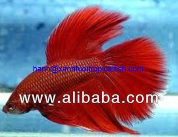 Betta Imbellis Fish - Freshwater Tropical Fish