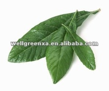 top quality Loquat leaf P.E.