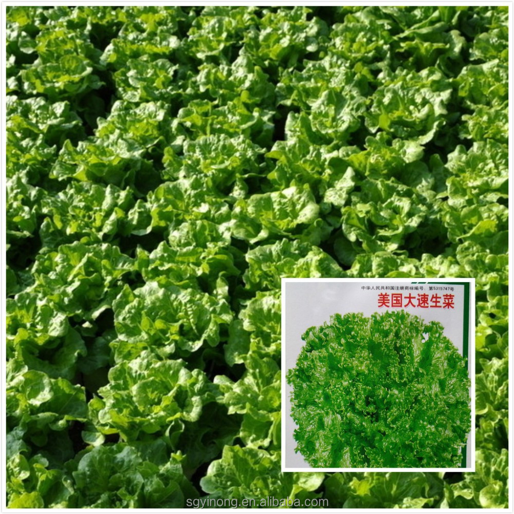 strong growth anti leaf scorch-back lettuce seeds F1