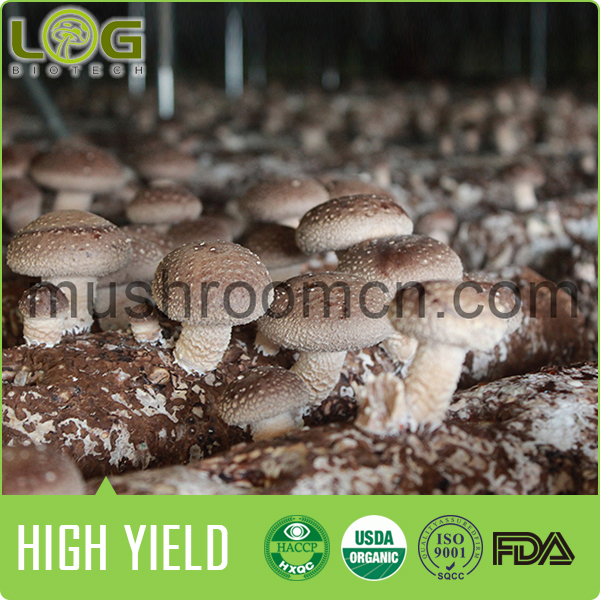 China high yield good performance ready fruiting in 7 days with competitive market prices for shiitake mushroom spawn