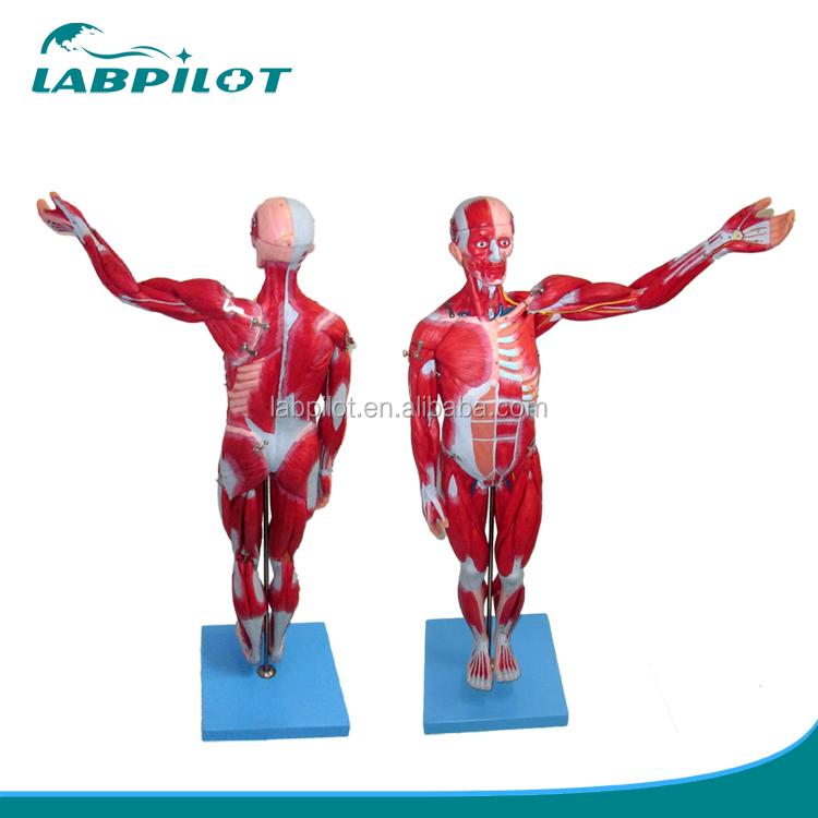 Hochwertige Muskeln der Männlichen mit Inneren Organe, menschliche ...