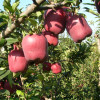 Chinese fruit huaniu apple Fresh Chinese Huaniu Apple/Red Apple