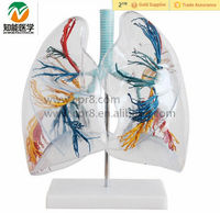 Platic White Clear Human Lung Anatomical Model