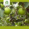 Hot selling bulk apples whole sale for wholesales fresh green royal gala apples