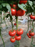 T08 Tina red hybrid tomato chinese vegetable seeds for sale