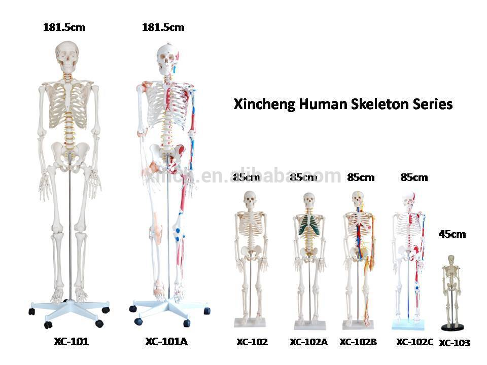 Human Skeleton Models with Muscles and Ligaments 180cm Tall