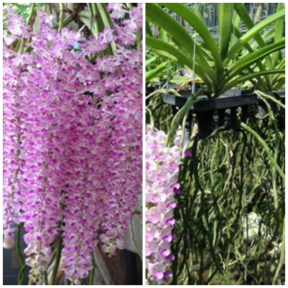 Rhynchostylis retusa orchid plant very fragrant