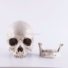 white New Skull Replica Resin Model Medical Realistic lifesize 1:1