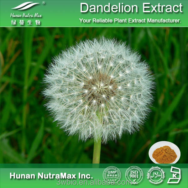 Hot products 100% natural extract of dandelion , dandelion extract from cGMP manufacturer