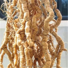 morinda officinalis root extract
