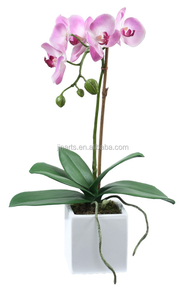 "11"" phalaenopsis small potted plants"