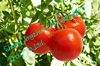 china fresh tomato farm direct sale with good quality