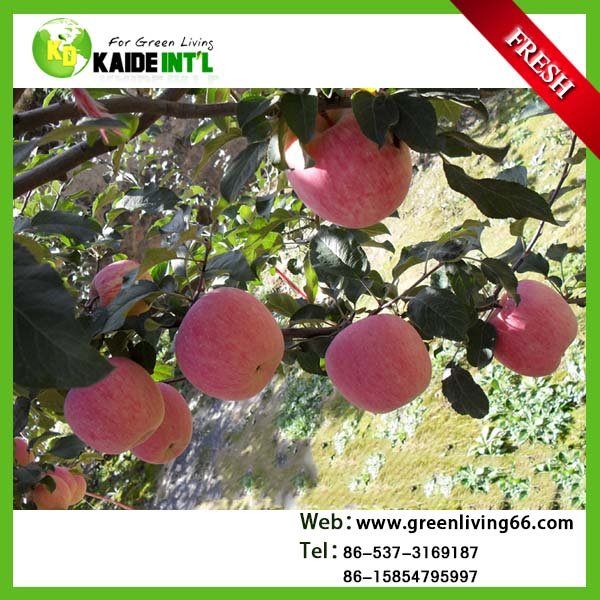New arrival Fresh Fuji apples ,Qinguan apples ,Huaniu apples with Cheaper price