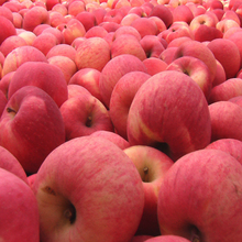 apple manufacturer exports best fuji apple fruit fresh chinese