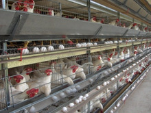 layer chicken Type and Chicken Use Laying Hens Chicken Breeds in farm