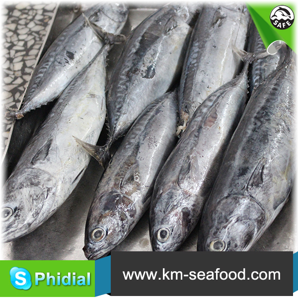 Sea Frozen Tuna Bonito Fish From India Ocean