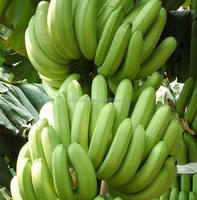 hot sale high quality fresh banana specification