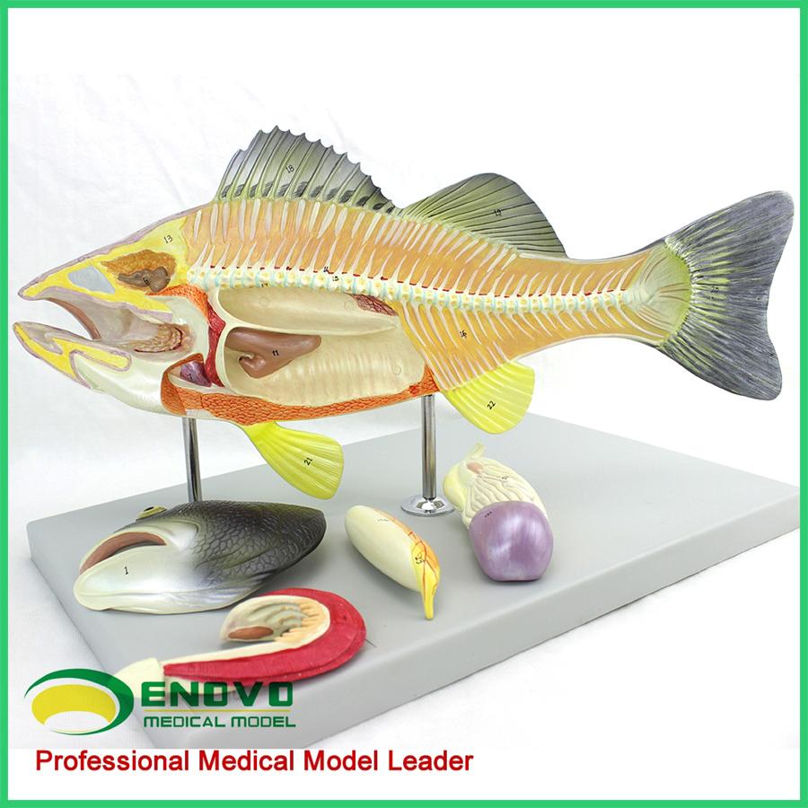 Venta al por mayor veterinarios modelo 12011 peces modelo anatómico ...
