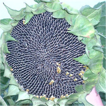 f1 hybrid sunflower seeds for planting S809