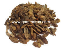 dried hermetia larvae - black soldier fly larvae