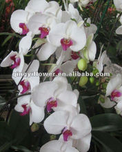 Best Quality Natural Fresh Dendrobium Orchid Plant orchids for sale in philippines