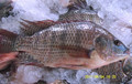 Low price frozen seafood fish tilapia fish
