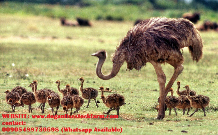Adorable Ostrich Eggs and Chicks