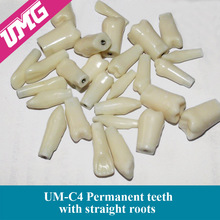 Hot sale Permanent straight rooted teeth model with 28 teeth