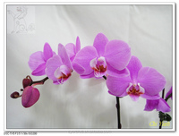 Pink/ purple flower with purple lip Phalaenopsis medium orchid tissue/ pot plant in Taiwan