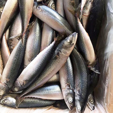 Sea Catch Seafood Mackerel Scomber Japonicus for Canned