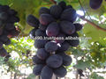 Table grapes seedless