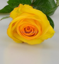 High grade Yellow Crown different types of yellow roses