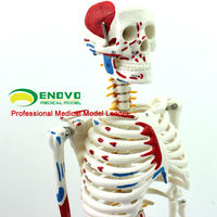 Wholesale 85cm Human Skeleton with Half Side Painted Muscle Model