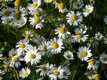 Best Selling Chamomile Plant Extract