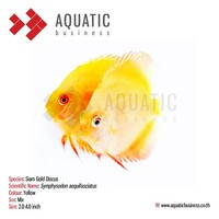 Siam Gold Discus, Aquarium Tropical Fish Exporter