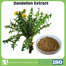 GMP factory provide dandelion plant extract natural dandelion herb 10:1 Dandelion root extract