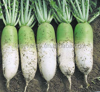 Chinese vegetable seeds Hybrid F1green radish seeds For Growing-New Green Top